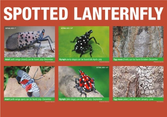 Spotted Lanternfly Slideshow